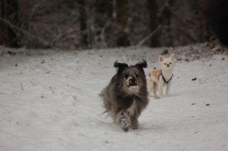 Spaziergang Chrischona mit Joy (Joy ist ein Chihuahua, die ich 2 Tage pro Woche hüte, siehe Gasthunde)