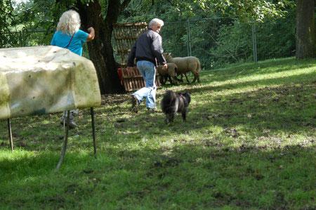 Lady soll rechts um die Schafe