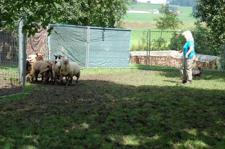 Lady schön rechts hinter den Schafen (und neben mir)