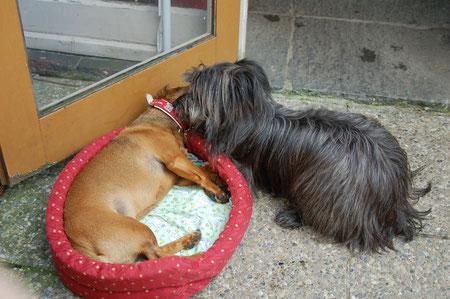 zwischendurch betätige ich mich immer wieder als Dogsitterin / from time to time Lady is a very good dogsitter