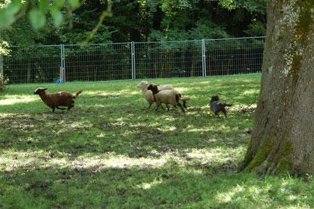 Lady soll die Schafe zu Peter treiben