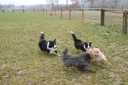 beim Spielen mit den anderen Hunden