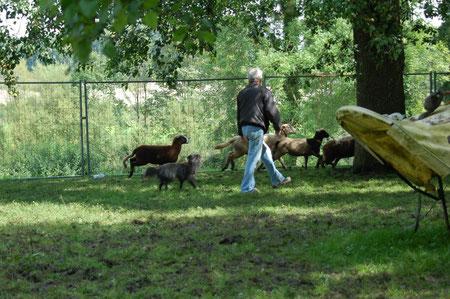 Lady soll hinter die Schafe und sie zu mir treiben
