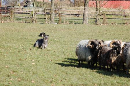 warten auf Position hinter den Schafen