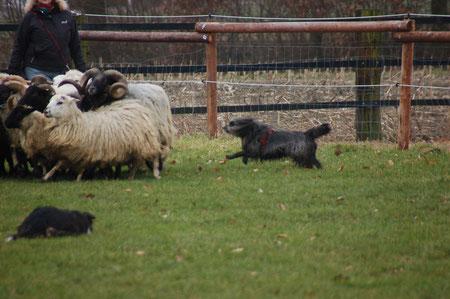 die Schafe müssen weg vom Zaun
