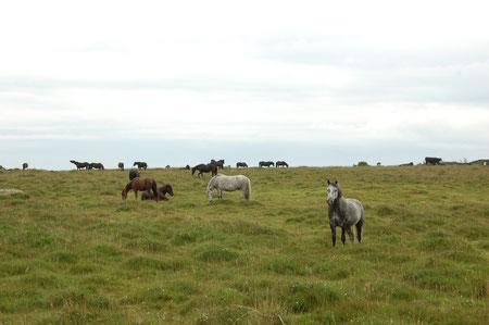es hat viele Wildpferde hier im Dartmoor