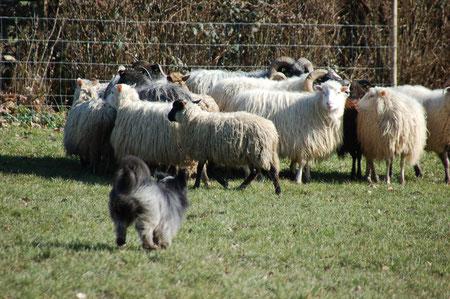 da passt keine Katze auf die Maus, sondern Lady auf die Schafe :-)