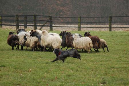 Lady darf das 1. Mal an die Schafe