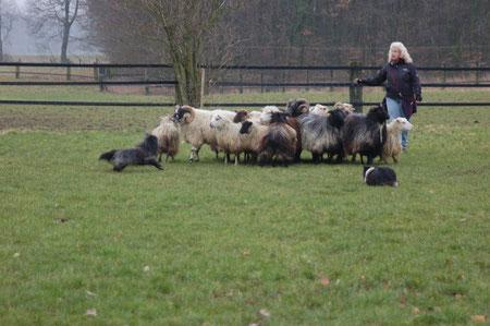 in die Schafe, statt aussen rum zzz