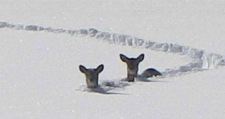 So eine Futtersuche ist hart, überall ist der Schnee meterhoch !