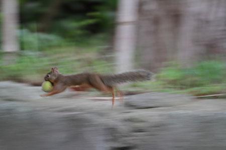 参道を走るリス