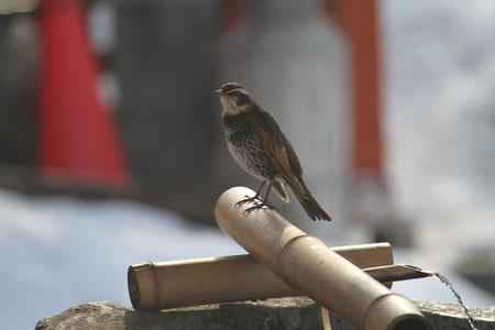 手水舎と野鳥