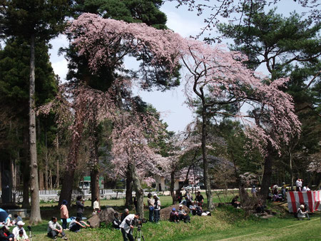 春 馬場の桜