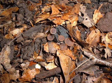 Brauner Eichelbecherling    Ciboria batschiana