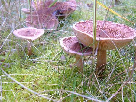 Bärtiger Ritterling  Tricholoma vaccinum  ein Pilz der Gebirgs Nadelwälder  ungenießbar