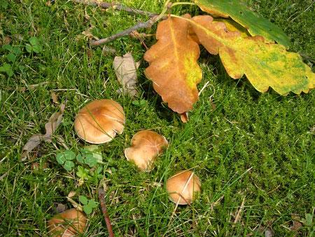 Eine Cortinarius Art die unter Eichen wächst.