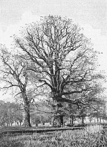 Große Eiche um 1895 in Die Gartenlaube