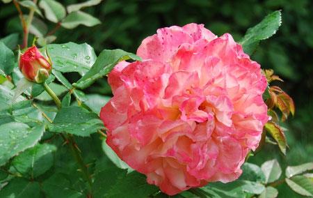 """Eine rosarote buschige Rose, eine geschlossene Knospe. Blätter. Zum Thema """"die Sinne gebrauchen""""."""