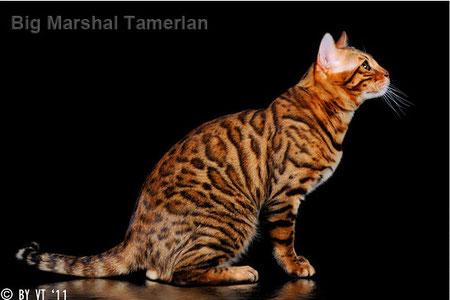 Бенгальский кот питомник Quick Hunters