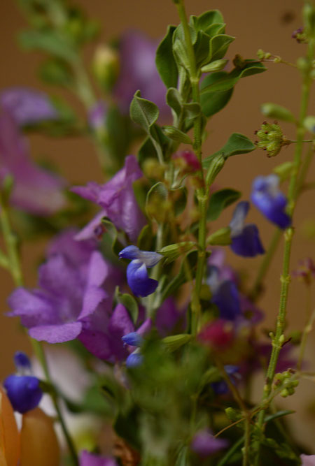 Salvia reptans and Leucophyllum frutescens in the Monday Vase