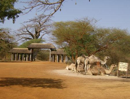 chameau reserve de Bandia