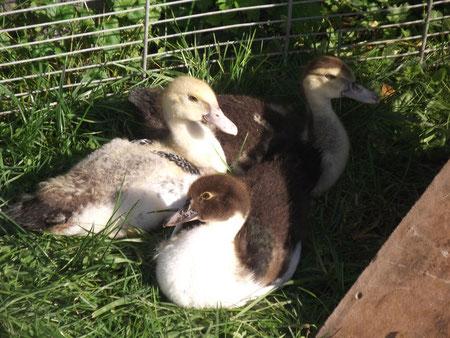 les trois vilains petits canards