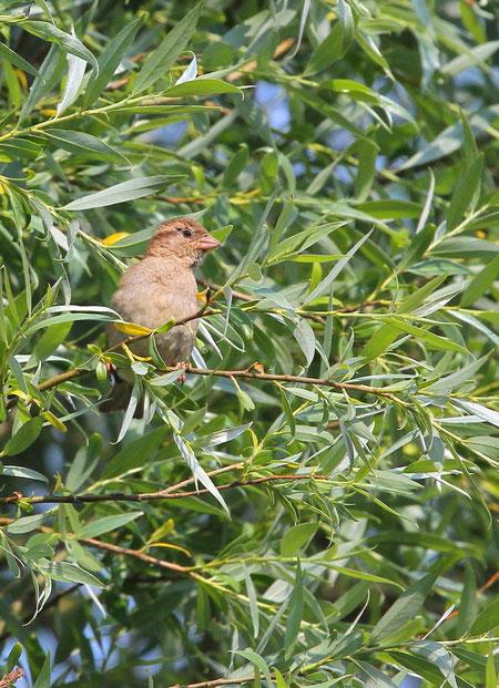 Moineau domestique femelle dans les branches de saule