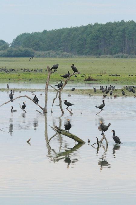 grans cormorans au parc du Marquenterre