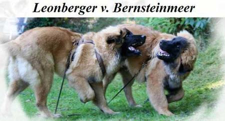 Link zum Zwinger Leonberger vom Bernsteinmeer