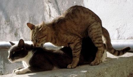Zähne, Katzen, Katze bei Deckakt, Bildquelle: aboutpixel.de