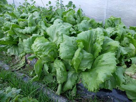 ミモレ農園 農薬不使用 玉レタス