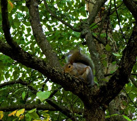 Ein Eichhörnchen in einem Baum in Highland Park, einem Stadtviertel in Pittsburgh