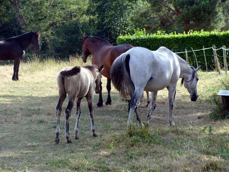 2009: Adultes et poulains en troupeau à l'herbe