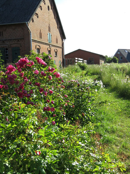 Rose Rudolfina in der Naturgarten-Rosenschule