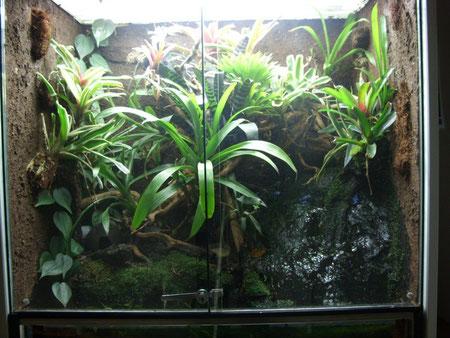 Regenwald-Terrarium für Azurblaue Baumsteigerfrösche (Dendrobates tinctorius azureus)