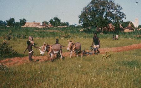 Erster Versuch mit zwei Eseln zu pflügen