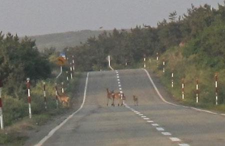 4:55 前方 エゾシカの群れが道路横断中