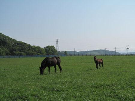 6月28日7:43 新ひだか。牧場でサラブレットの親子がのんびり