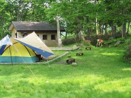 12:49 キャンプ場内を普通に闊歩するエゾシカ