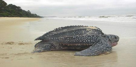 Tortuga laúd en Gabon
