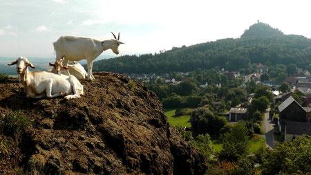 """Blick vom """"Kleiner Kulm"""" mit Bergziegen nach Neustadt am Kulm und """"Rauher Kulm"""" © Copyright by Olaf Timm"""