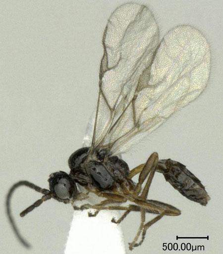 Diaeretiella rapae (McIntosh, 1855)
