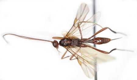 オオハラボソコマユバチ  Zele albiditarsus Curtis,1832