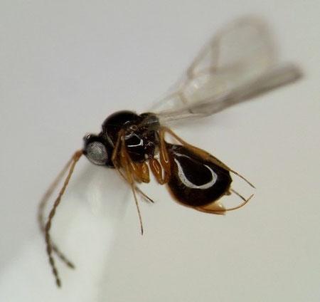 ツヤヤドリタマバチ科の一種
