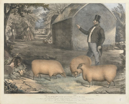 Prize sheep early 19th century print