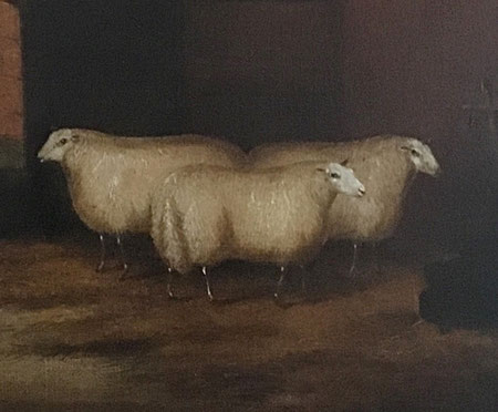 Prize winning sheep in a barn
