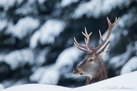 oft ragt zwischen den Schneemassen nur der Kopf heraus...