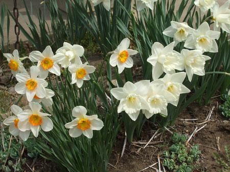 庭中に咲く水仙