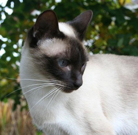 Thaikatze sealpoint, Bildquelle:  © Cattery Thaikatzen-vom-blauen-halbmond