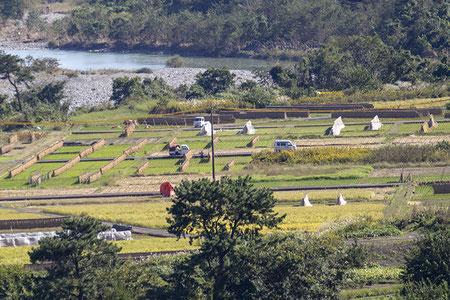 酒米以外は地元の方が作っているお米。はざがけで天日干しされている光景が美しい。